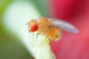 obavijest za poljoprivrednike-suzbijanje octene  mušice plodova